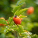 Hagebutte-Rose-Frucht