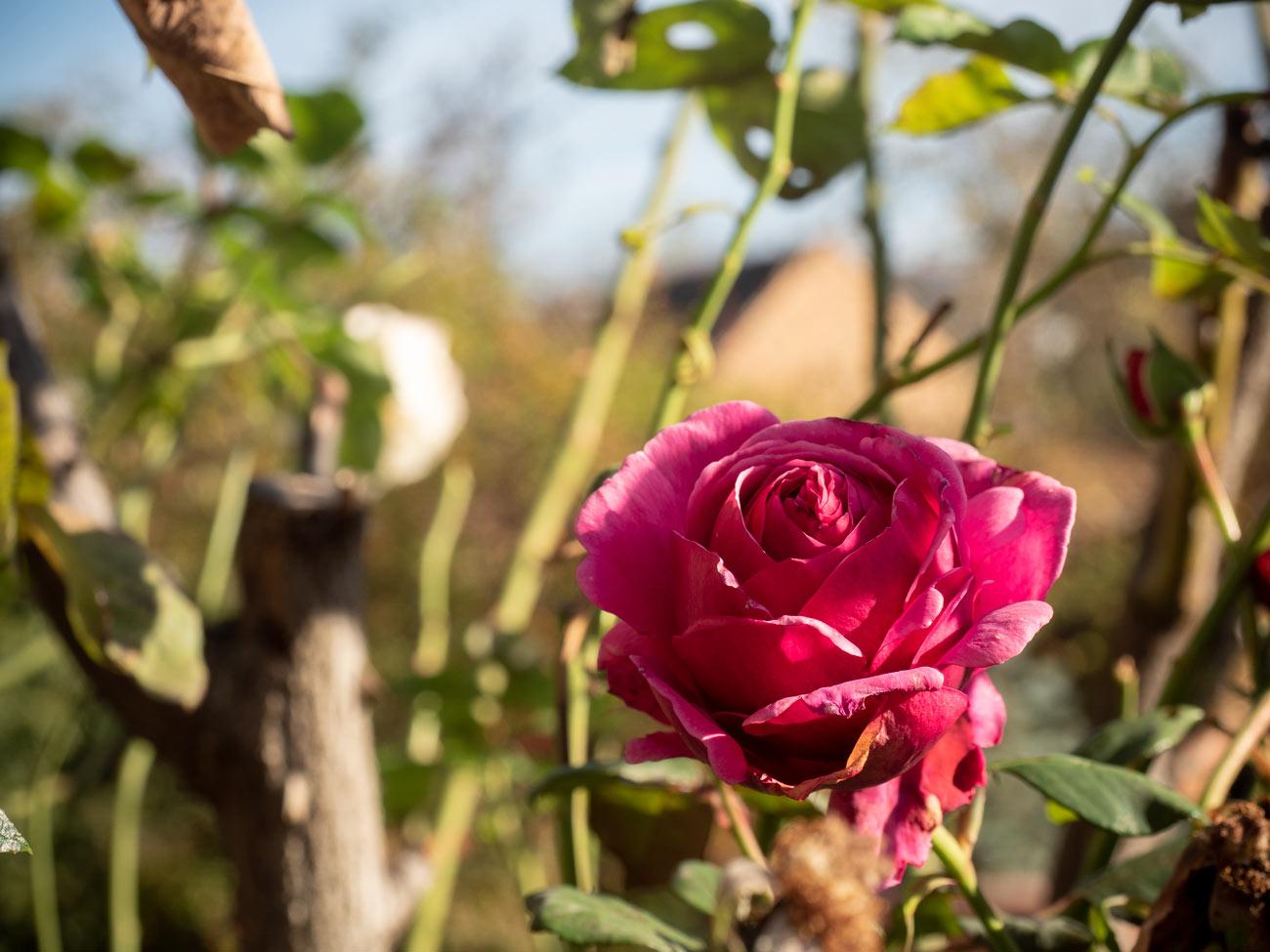 Rosen blühen im Spätherbst-02
