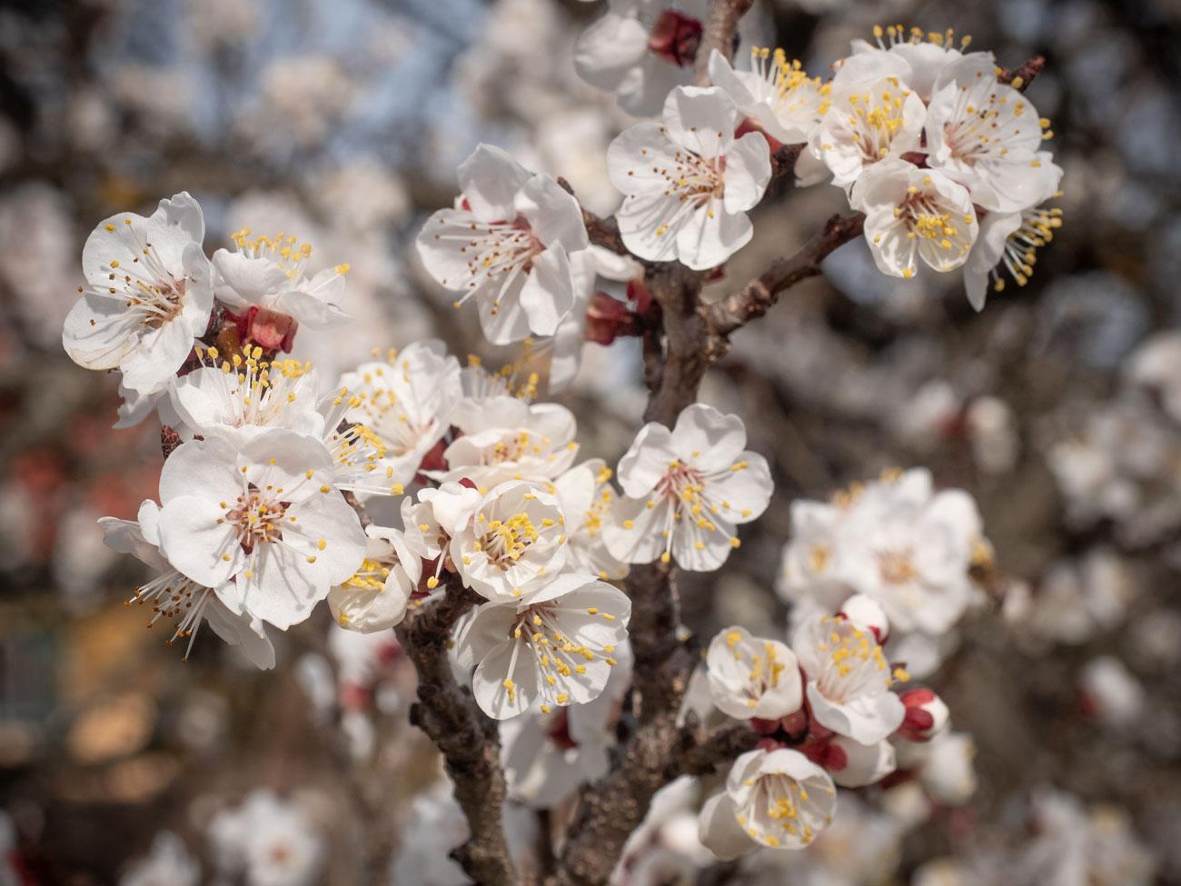 Marillenblüte 2019 im Burgenland