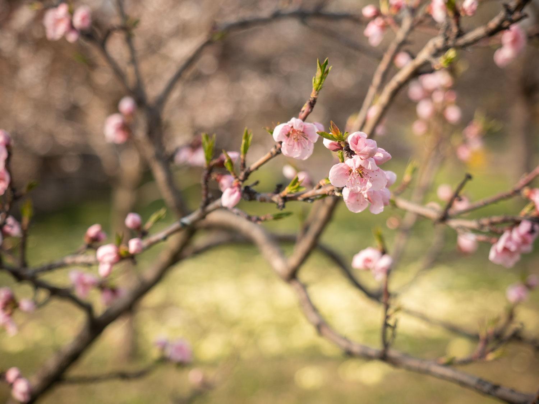 Pfirsich - Blüte im März 2019