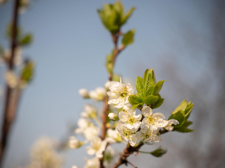 Pflaume - Blüte im März 2019