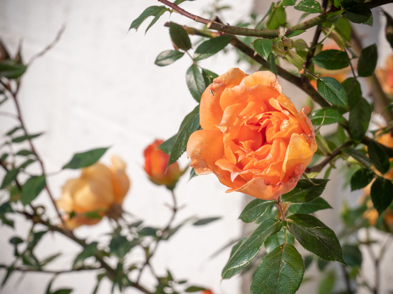 Rosenblüte im Burgenland, Mai 2019