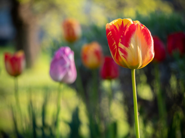 Tulpen blühen noch immer