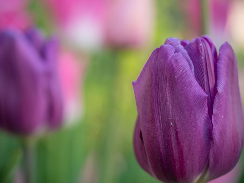 Tulpen: Anfang Mai 2019 im Burgenland