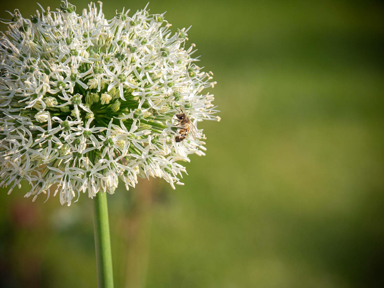 Zierlauch-Allium-Bienen-Mai-2019-02