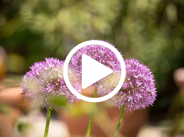 Zierlauch-Bienenfutter-video