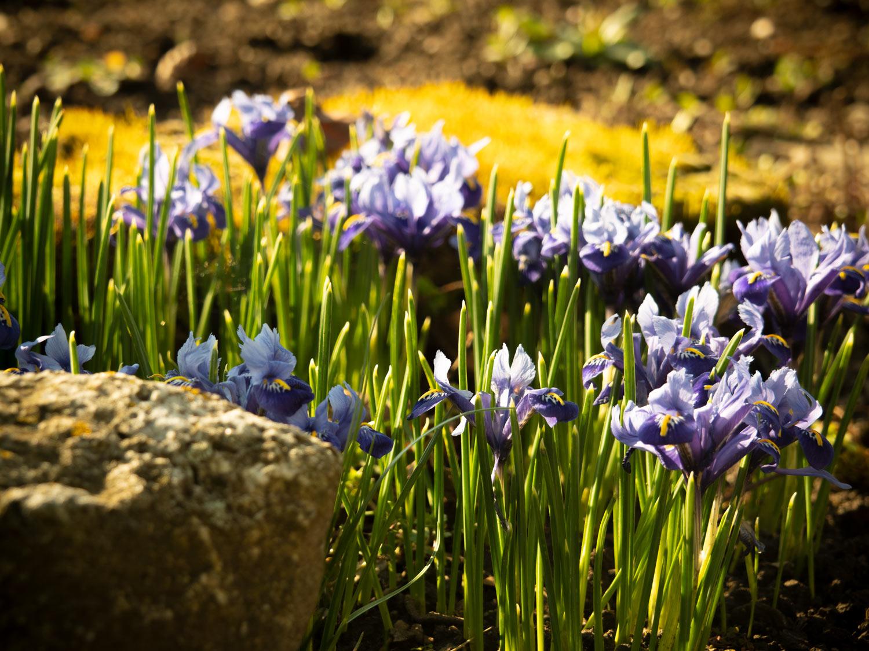Iris-blühen 03-2020