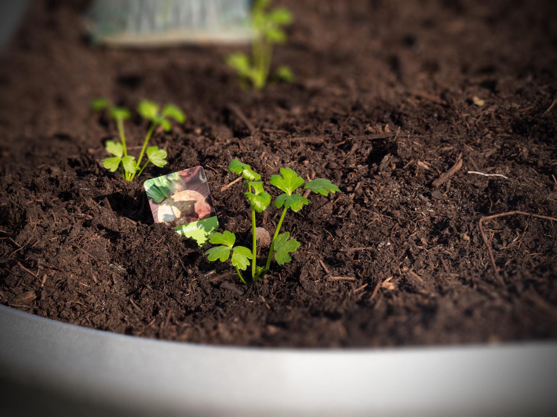 Knollensellerie-Hochbeet-ausgepflanzt-03-2020