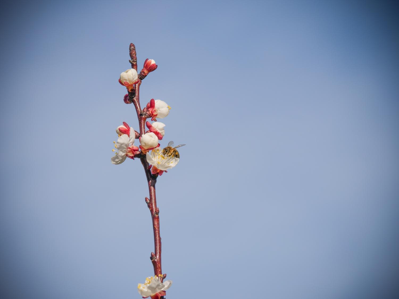 Marillen (Aprikosen) blühen