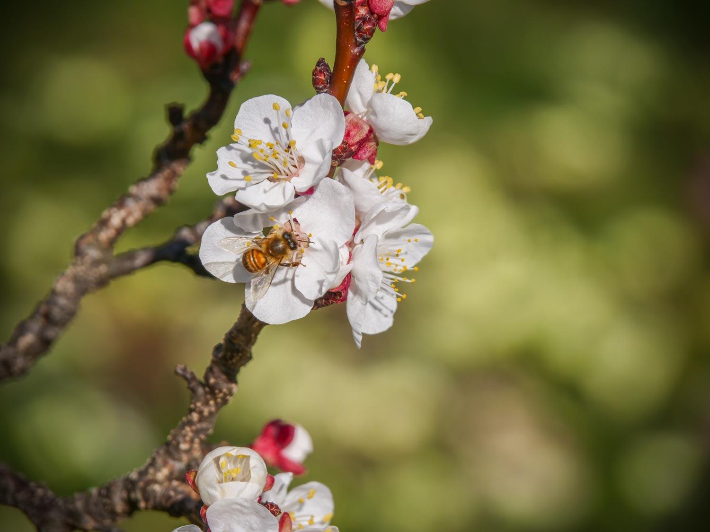 Die Marillen blühen - und schon summen Bienen und Hummeln im Baum