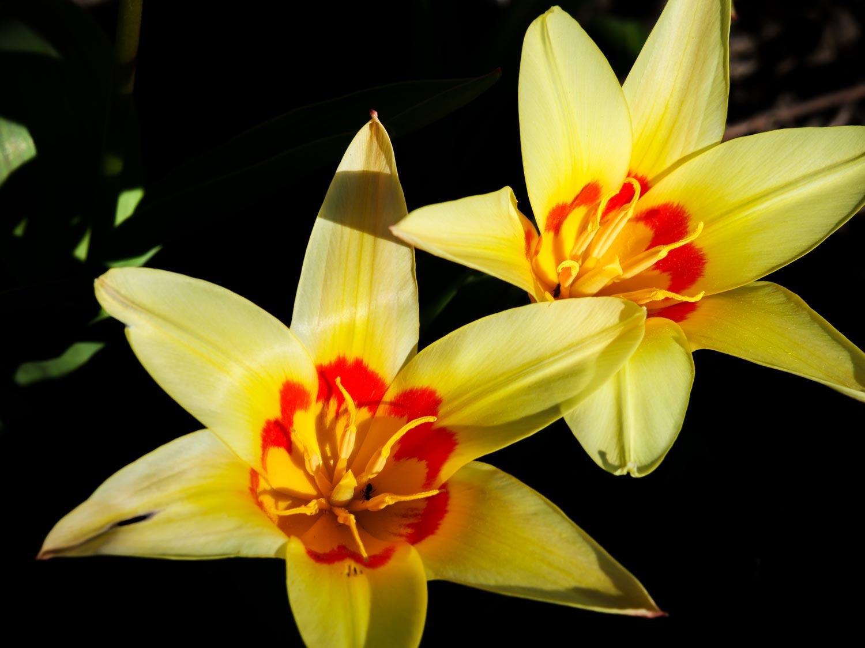 Tulpen-blühen-03-2020-01