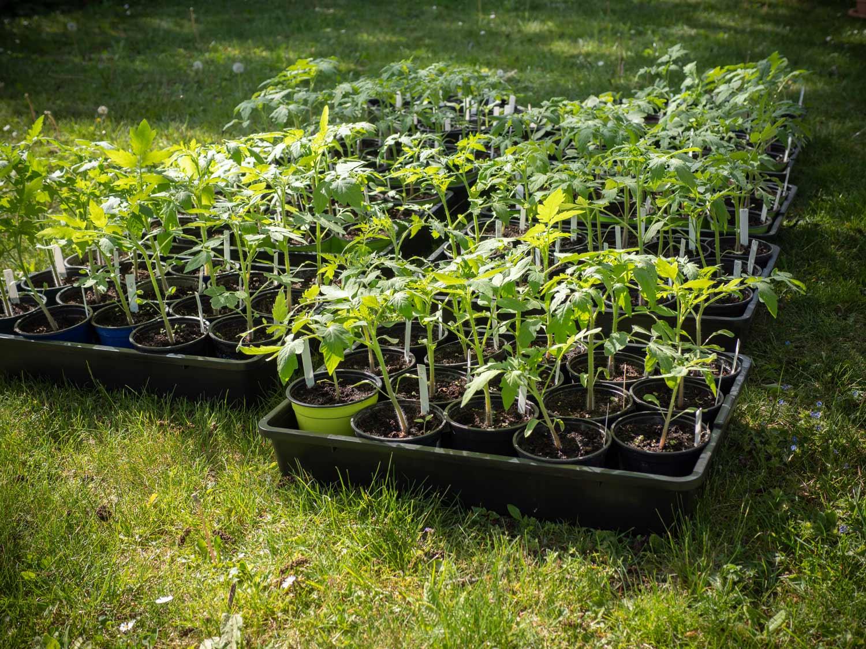 Paradeiserpflanzen