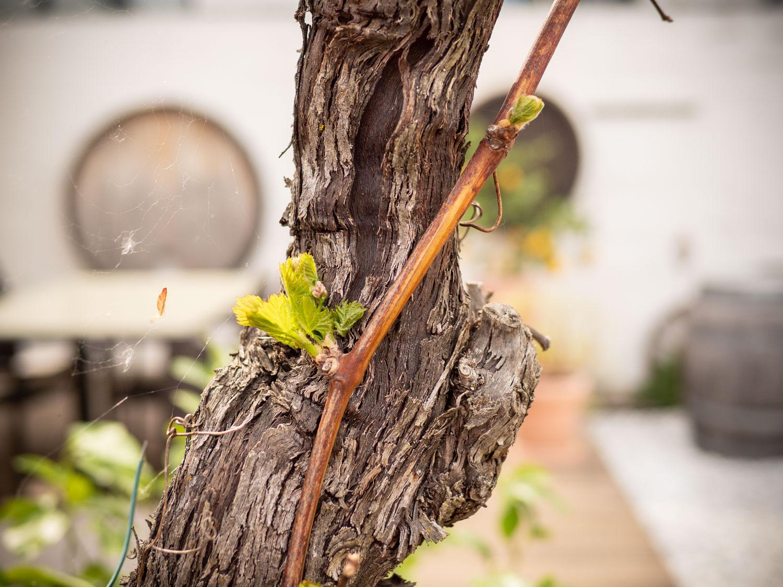 Wein-treibt-aus-April-2020