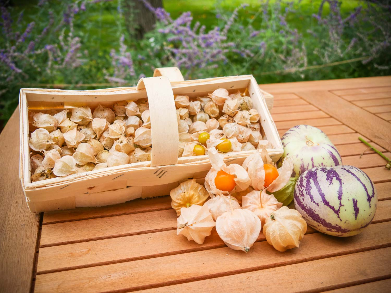 Andenbeere-Physalis-Melonenbirne-Pepino-Gartenjahr