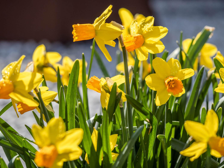Unsere Narzissen blühen zu Ostern