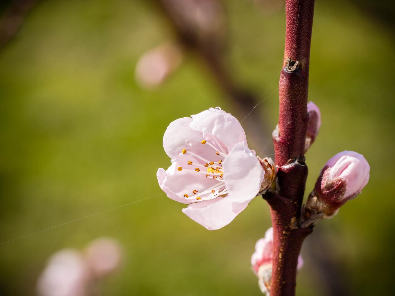 Der Pfirsichbaum blüht