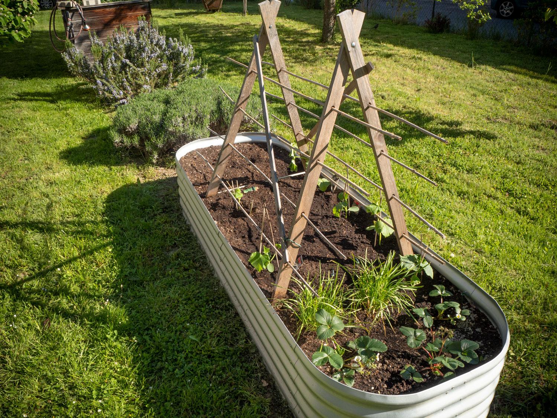 Gurken-gepflanzt-2021-P5090064