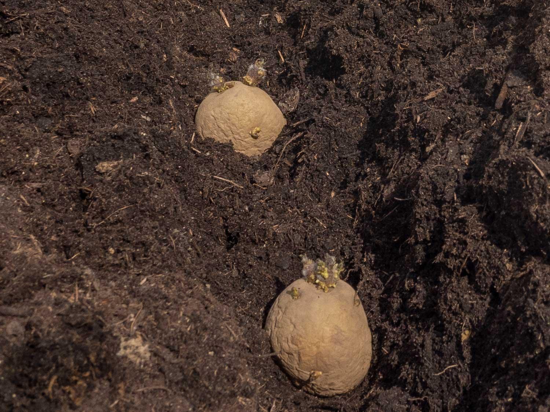 Kartoffel-Erdäpfel-keimen