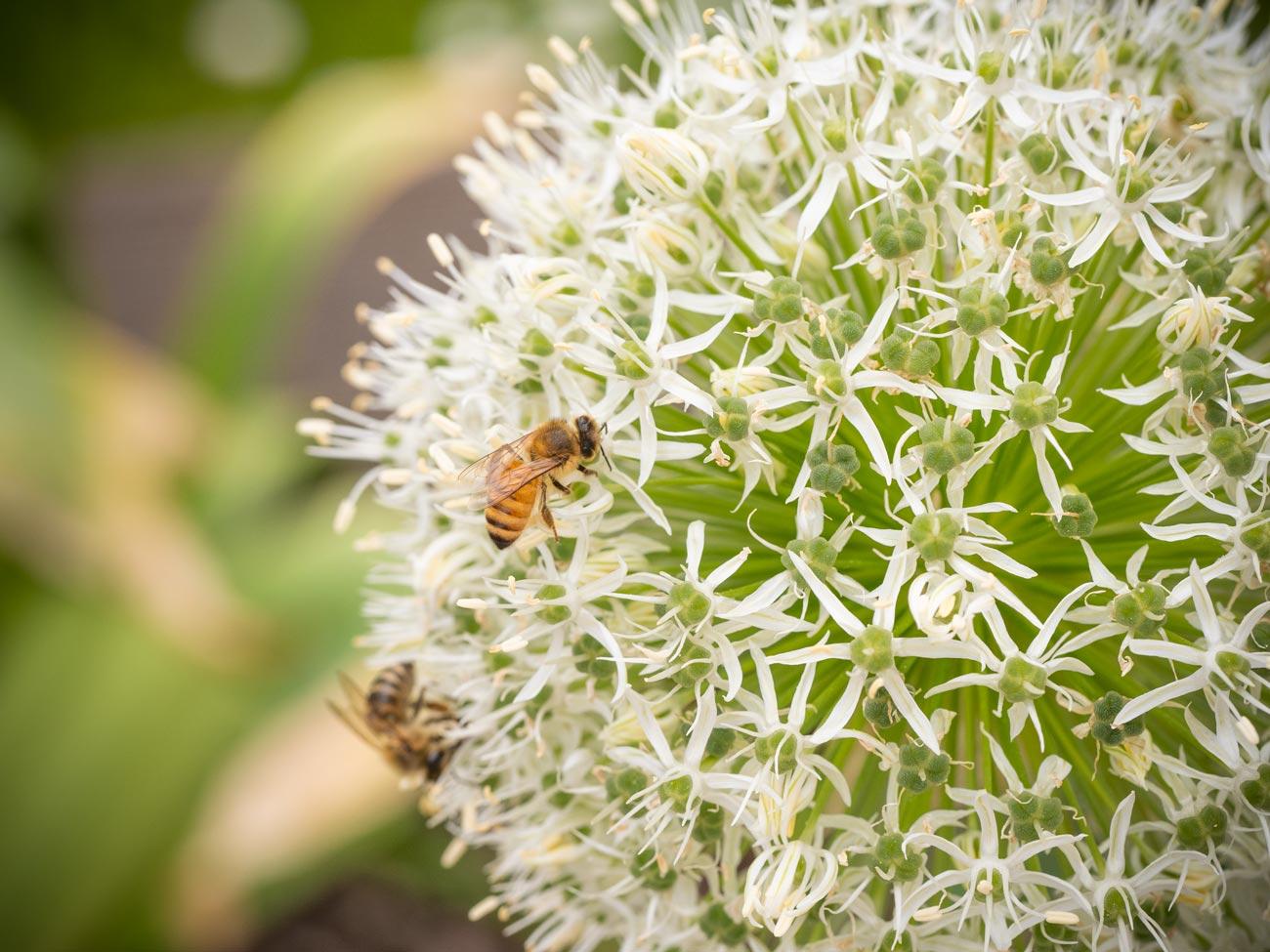Bienenfutter - Zierlauch