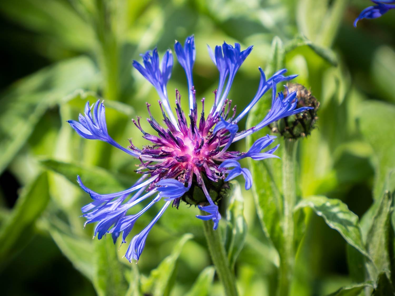 Griechische Kornflockenblume