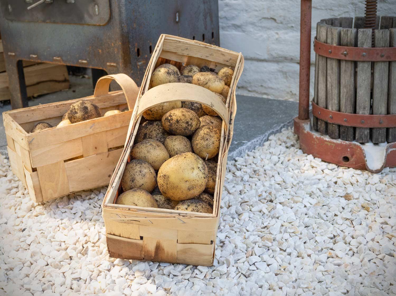 Erdäpfel-pflanzen-ernten-Kartoffeln-Belana-2021_8090234